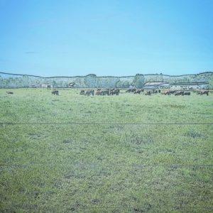 Cows at Disc Jam